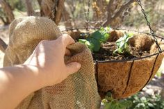 growing strawberries in containers A hanging basket offers an alternative that takes advantage of vertical space when you lack yard space for a strawberry (Fragaria x Types Of Strawberries, Growing Strawberries In Containers, Succulents In Containers, Strawberry Varieties, Strawberry Planters, Strawberry Garden, Container Gardening Vegetables, Planting Vegetables, Growing Vegetables