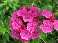 1000 Images About Winter Annuals For North Texas On Pinterest Dianthus Barbatus Pansies And Cabbages