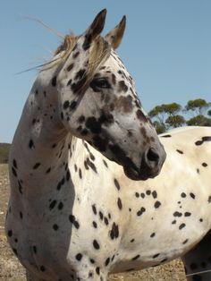 My dream horse, a Leopard Appy