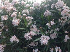 Corfu zo mooi die bloemen daarzo
