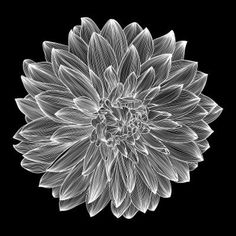 black and white drawing of dahlia flower