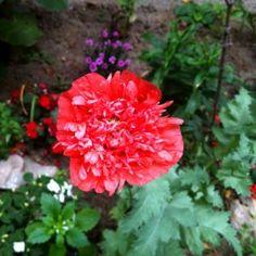 Kitnjasti vrtni mak u mom vrtu (13)