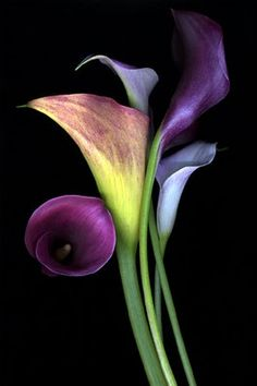 calla lilies in this color purple for the bridesmaids to carry