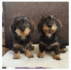 Funny Dachshund, Dachshund Puppies, Dachshund Love, Dachshunds, Dogs And Puppies, Daschund, Doggies, Cute Funny Animals, Cute Baby Animals