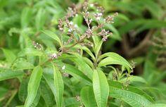 Calma! Cultive e tome chás para lidar com o estresse   Jardim de Helena