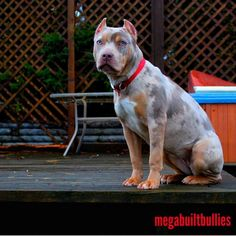 Merle Pitbull, Xl Pitbull, Pitbull Terrier, Baby Dogs, Pet Dogs, Pets, Doggies, Cute Little Animals, Cute Funny Animals