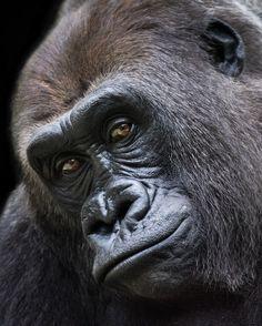 Photo Western Lowland Gorilla VI by Abeselom Zerit on 500px
