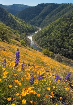 Lupine and Poppies, American River