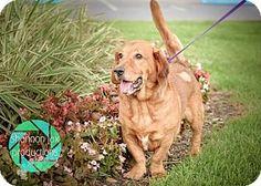 Gainesville, FL - Basset Hound/Labrador Retriever Mix. Meet Jet, a dog for adoption. http://www.adoptapet.com/pet/13208960- Helping Hands Pet Rescue,
