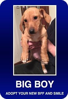 Morrisville, PA - Dachshund. Meet Claus, a puppy for adoption. http://www.adoptapet.com/pet/12861435-morrisville-pennsylvania-dachshund