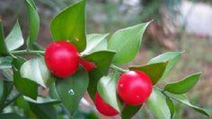 Arrayán Silvestre (Ruscus Aculeatus)