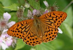 Silver-washed fritillary: an impressive and quite large butterfly. Happily for me, it likes Longleat forest.