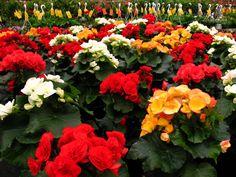 Some Hiemalis Begonia (Annual)...