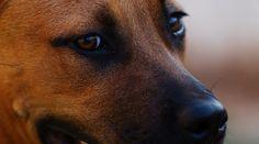 German Shepherd Pitbull Mix: Breed Info, Traits, Puppy Prices & More