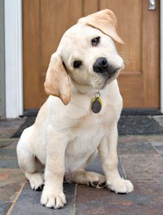 labrador puppy WHAT DO U MEAN, I CAN'T HAVE 1 MORE PEANUT BUTTER TREAT!!!! DEAN