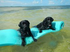 Floating....I had a black lab who loved her pool float