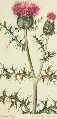 Cirsium lanceolatum [now Cirsium vulgare] - Common Thistle by beatrice