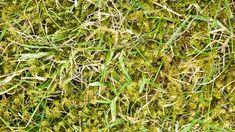 Moos im Rasen kann verschiedene Ursachen haben. Oft hilft Kalk. Eisendünger ist nicht immer geeignet. Mit diesen Tipps entfernen Sie Moos.