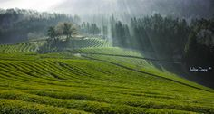 Field of green tea .