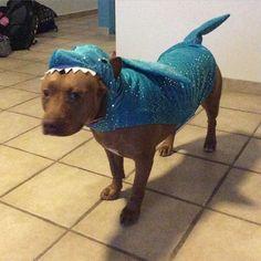 So this happened! Lusca's new #shark costume! #sharks #ilovesharks #pitbullshark #adoptdontshop #sharklife #rednosepit #pitbullsofinstagram #mustlovebullies by biminisharkgirl