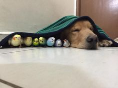 Meet The Golden Retriever Whose Best Friends Are 8 Birds And A Hamster