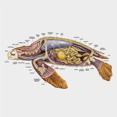 marine biology This lateral anatomy cutaway illustration of a loggerhead sea turtle (Caretta caretta) is biologically accurate in detail. Les Reptiles, Reptiles And Amphibians, Mammals, Tortoise Turtle, Animal Science, Turtle Love, Marine Biology, Animal Facts, Tier Fotos
