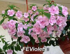 АХИМЕНЕС - Szukaj w Google Double Pink Rose