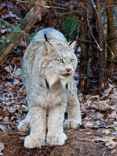 Beautiful Canadian lynx [Lynx canadenis] - Look at that coat!