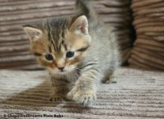 😻 Pixie Bob Kittens, Kittens Cutest, Cute Cats, Greatest Mysteries, Mystery, Kitty, Animals, Cuddle Cat, Animales