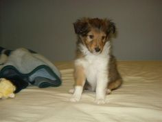This is my baby, Sadee, as a puppy. So cute! She was from Prairiestar Shelties in Saskatoon. Thanks, Crystal, for allowing me to love Sadee.