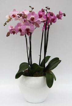 Orchidee Multicolor roze in pot (large)