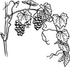 Grapevine with its branch vector illustration. Black and white drawing of grapevine growing on its branch. Grape Drawing, Vine Drawing, Branch Vector, Thanksgiving Coloring Pages, Première Communion, Vine Tattoos, Outline Drawings, Black And White Drawing, Colouring Pages