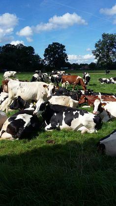 Gado Leiteiro, Alien Pictures, Farming Life, Dairy Cattle, Terra, Cows, Country Living, Farm Animals, Skin Care