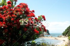 New Zealand Pohutukawa and Seascape Royalty Free Stock Photo