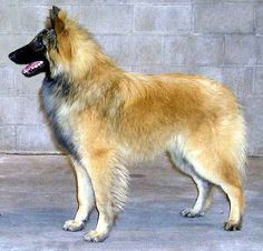 Belgian Sheepherd Dog | First recognised as a breed in 1891, the Belgian Shepherd Dog was ...