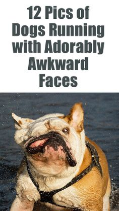 12 Pics of Dogs Running with Adorably Awkward Faces/something to share with your kids Cute Funny Animals, Cute Baby Animals, Funny Cute, Funny Dogs, Cute Dogs, Dog Pictures, Animal Pictures, Dog Fails, Sandwich Ingredients
