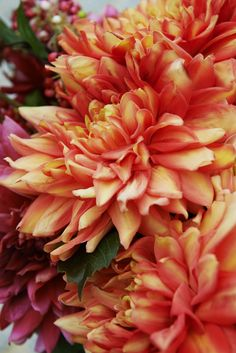 Love Nature: Dahlia