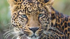 leopard wild cat samsung note5 hd wallpaper download