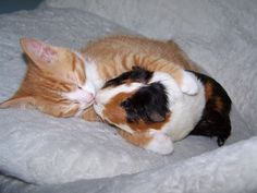 Guinea Pig Names – There are few pets as cute and cuddly as a guinea pig, so we totally understand your excitement if you are in the process of getting one. Guinea pigs are becoming an increa… Unusual Animal Friendships, Unlikely Animal Friends, Unusual Animals, Baby Animals, Funny Animals, Cute Guinea Pigs, Photo Chat, Tier Fotos, Crazy Cats