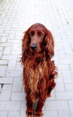 Irish Setter. Someday I'm going to adopt one.