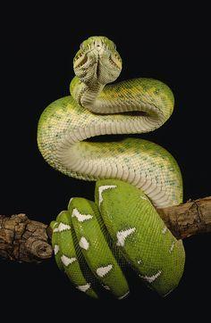 reptiles | Emerald Tree Boa Corallus Caninus Photograph