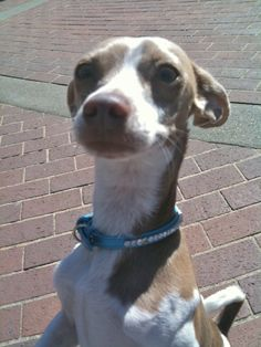 chihuahua italian greyhound mix temperament | Italian Greyhound Chihuahua Mix  **Look at those ears! Look at that neck! That's my Junie!!!***