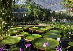 Kew Gardens water lilies, from a story in the Mail Online (U.K. newspaper) by Monty Don. The story has more pics to enjoy and has a short history of the gardens.