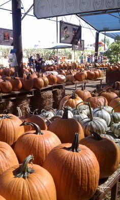 Pumpkins at Live Oak Canyon.  Photo: Laura San Nicolas.