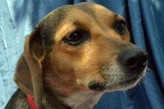 Beagle/Dachshund Mix - teeny tiny!