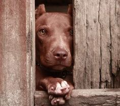 Pitbull Terrier. Another example of a stakeout.