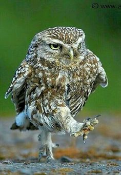 The song just popped in my head when i saw the owl picture Beautiful Owl, Animals Beautiful, Beautiful Creatures, Animals And Pets, Funny Animals, Cute Animals, Exotic Birds, Colorful Birds, Owl Pictures