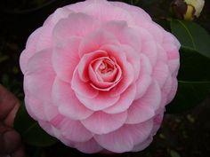Camellia japonica 'Giardino Schmitz' (Italy, 1861):
