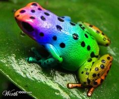The very rare rainbow frog. very pretty. It's my kind of frog. (maybe even my mom's fav,though she dislikes frogs. Funny Frogs, Cute Frogs, Les Reptiles, Reptiles And Amphibians, Beautiful Creatures, Animals Beautiful, Pretty Animals, Frosch Illustration, Poison Dart