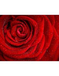 Garden, Rose Red Rosa Morning Rose Flower Flower R
